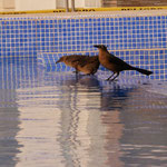 Birds are the only ones using the pool