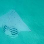 manta feeding under my boat in Hirifa