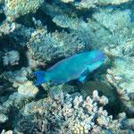 Female parrot fish