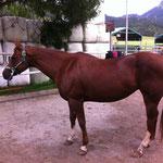 Sehr coole und relaxte Quarter Horses auf der LC Ranch in Studen