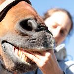 Maularbeit: Vor allem bei sehr mauligen, hibbeligen oder sehr verspannten, nervösen Pferden hilft Maularbeit enorm: Denn über das Maul reagieren viele Pferde ihre überbordenden Emotionen ab.