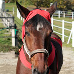 Kopfbandage: Wer mit elastischen Körperbandagen arbeitet, wird Spannendes an seinem Pferd erfahren. Gerade die Kopfbandagen fördern die Konzentration auf den eigenen Körper und die Entspannung des Pferdes.