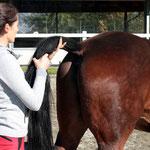 Schweifarbeit: Über den Schweif als Verlängerung der Wirbelsäule kann ich die Rückenaktivität und -beweglichkeit fördern.
