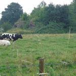 Restanten tussen de koeien