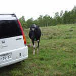 放牧されている牛がコース上に登場