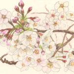 六郷土手の桜