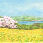 菜の花畑の向こうに桜の木が