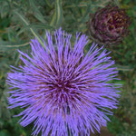 Cardy Knospe - Blüte