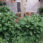 kermesbeere Komposthaufen August