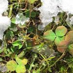 雪の下は春の準備中のきれいな色の葉っぱでした。