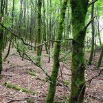 Rothaarsteig: moosiger Wald kurz hinter Langewiese