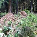 Rothaarsteig: Ameisenhaufen mitten im Wald