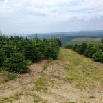 Rothaarsteig: endlose Tannenbaumplantagen auf dem Grenzweg