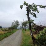 Rothaarsteig: Bäume, vom Wind geformt (wie in Norddeuschland :-)  )