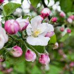 2013-05-15 Rothenhausen - Apfelblüte -Jahreszusammenfassung 2013 Bild 34 (PS CS6)