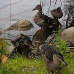 2009-06-14 Ratzeburg - Ente mit Jungen © Pekasus1988