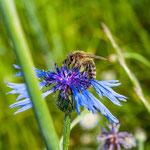 2013-06-17 Rothenhausen - Biene auf Kornblume -Jahreszusammenfassung 2013 Bild 68 (PS CS6)