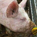 2012-04-28 Rothenhausen - Schweinchen PS 5 © Pekasus1988