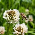 2013-07-06 Rothenhausen - Biene am Weißklee -Jahreszusammenfassung 2013 Bild 75 (PS CS6)