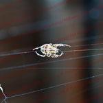 2011-09-16 Rothenhausen -Spinne bei der Arbeit- © Pekasus1988