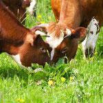 2010-05-19 Rothenhausen - Weidegang Jungtiere 2 © Pekasus1988