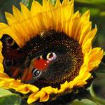 2009-09-20 Rothenhausen Sonnenblume © Pekasus1988