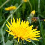 2013-05-10 Rothenhausen - Biene im Anflug -Jahreszusammenfassung 2013 Bild 30 (PS CS6)