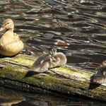 2009-06-01 Hamburg - Ente mit Jungen © Pekasus1988