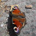 2009-04-13 Schorndorf - Schmetterling © Pekasus1988