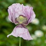 2012-06-17 Kronsforde - Zierpflanze PS 5.1 © Pekasus1988