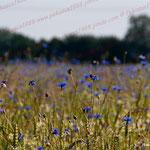 2012-06-29 Rothenhausen - Kornblumen-Feld PS 5.1 © Pekasus1988