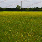 2010-06-18 Rothenhausen - Getreidefeld mit Ackersenf © Pekasus1988