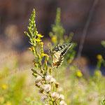 2010-08-21 Spanien - Alicante  - Schmetterling © Pekasus1988