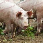 2011-06-15 Rothenhausen -Schweine- © Pekasus1988