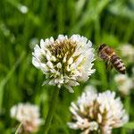 2013-07-06 Rothenhausen - Biene im Anflug -Jahreszusammenfassung 2013 Bild 76 (PS CS6)