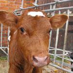 2009-11-01 Rothenhausen - Kalb © Pekasus1988