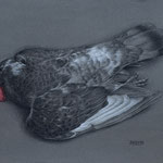 Pigeon    10x14  charcoal/pastel   $500