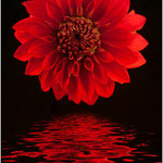 Red Dahlia, Lee Moore (Photography)