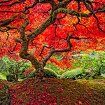 Japanese Maple, Lee Moore (Photography)