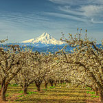Hood River Cherry Blossoms, Lee Moore (Photography)