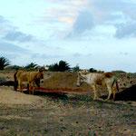 wildlebende Esel auf Fuerteventura 04.2010