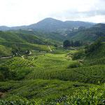 Teeplantage in den Cameron Highlands (Malaysia)