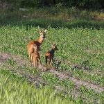Ein Reh mit seinen zwei Kitzen, am Rande des Moores. Gleich zu Beginn unserer Exkursion bot sich dieser Anblick.