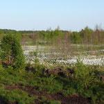 Das Wollgras in voller Blüte. In diesem Frühsommer ein besonders schönes Bild.