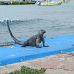 Leguane sitzen immer überall