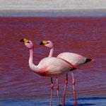 Hier leben hunderte Flamingos, die sich von den Tierchen in der Lagune ernähren