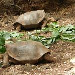 ... und riesige Schildkröten in der Darwin-Station.