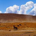 Lamas wo man nur hinschaut