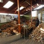 Alpaca-Wolle bei der manuellen Sortierung nach Farben in einem Alpaca-Museum