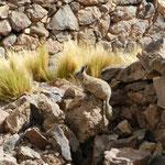 Viscachas (ähnlich einem Chinchilla) gibt es in der Gegend zuhauf